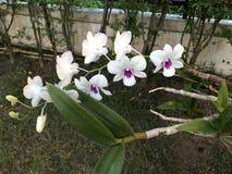 Fleur d'orchidée de Dendrobium Photos libres de droits