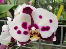 Fleur d'orchidée de dendrobium rose de Phalaenopsis ou de mite pendant l'hiver ou la journée de printemps photos stock