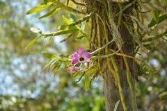 Fleur d'orchidée de Dendrobium sur l'arbre Photo libre de droits