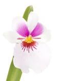 Fleur d'orchidée de miltonia de fleurs d'orchidées Images libres de droits