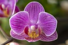 Fleur d'orchidée de mite photo stock
