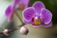 Fleur d'orchidée de mite photos libres de droits