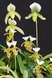 Fleur d'orchidée de Paphiopedilum Photo libre de droits