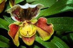 Fleur d'orchidée de Paphiopedilum Photographie stock