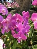 Fleur d'orchidée de Phalaenopsis Photographie stock libre de droits