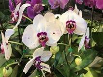 Fleur d'orchidée de Phalaenopsis Photographie stock