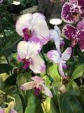 Fleur d'orchidée de Phalaenopsis Photos libres de droits