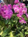 Fleur d'orchidée de Phalaenopsis Images stock