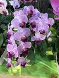 Fleur d'orchidée de Phalaenopsis Photo libre de droits