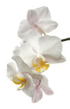 Fleur d'orchidée de Phalaenopsis d'isolement sur le blanc Images libres de droits
