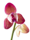 Fleur d'orchidée de phalaenopsis de fleurs d'orchidées Images stock