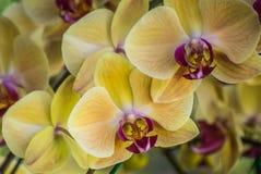 Fleur d'orchidée de Phalaenopsis de jaune de foyer sélectif Images stock