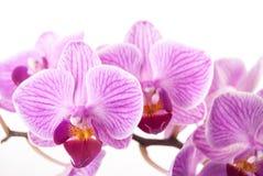 Fleur d'orchidée, Phalaenopsis Image stock