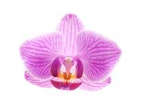 Fleur d'orchidée, Phalaenopsis Images stock