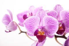 Fleur d'orchidée, Phalaenopsis Image libre de droits