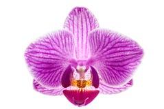 Fleur d'orchidée, Phalaenopsis Photo libre de droits