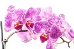 Fleur d'orchidée, Phalaenopsis Photos stock