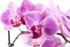 Fleur d'orchidée, Phalaenopsis Photographie stock libre de droits