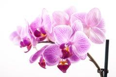 Fleur d'orchidée, Phalaenopsis Images libres de droits