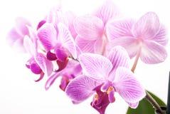 Fleur d'orchidée, Phalaenopsis Photographie stock