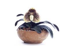 Fleur d'orchidées de Paphiopedilum Photo libre de droits