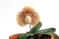 Fleur d'orchidées de Paphiopedilum Images stock