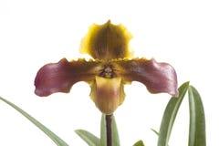 Fleur d'orchidées de Paphiopedilum Images libres de droits