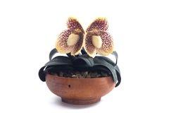 Fleur d'orchidées de Paphiopedilum Photos stock