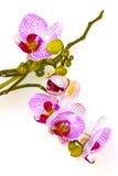 Fleur d'Orchidea Photographie stock libre de droits