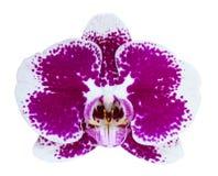 Fleur d'Orchird d'isolement sur le blanc Photos stock