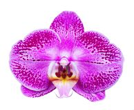 Fleur d'Orchird d'isolement sur le blanc Photo libre de droits