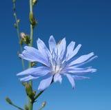 Fleur d'ordinaire d'endive. Contre le ciel bleu. Photos stock
