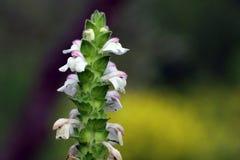 Fleur d'ortie de chanvre Photographie stock