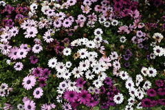 Fleur d'Osteospermum dans le jardin Photos stock