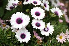 Fleur d'Osteospermum dans le jardin Photographie stock