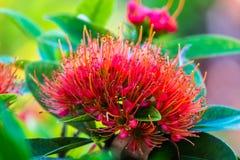 Fleur d'or rouge de Penda Photo libre de droits
