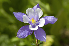 Fleur d'état de Columbine le Colorado Photo libre de droits