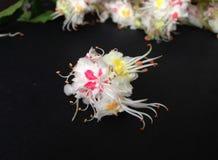 Fleur d'un arbre de châtaigne photo stock