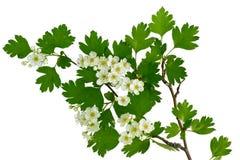 Fleur d'un arbre de hawthorne Photographie stock libre de droits