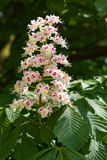 Fleur d'un arbre de marron d'Inde Image libre de droits