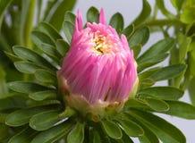 Fleur d'un aster Photo libre de droits