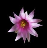 Fleur d'un cactus Photo libre de droits