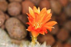 Fleur d'un cactus Photos stock