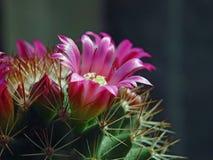 Fleur d'un cactus de Mammillaria de tri. Photos stock