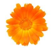 Fleur d'un calendula Photo libre de droits