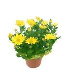 Fleur d'un chrysanthemum Photo stock