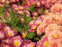Fleur d'un chrysanthemum photo libre de droits
