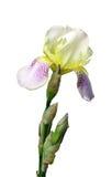 Fleur d'un iris Photo libre de droits