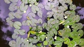 Fleur d'un lis dans un étang banque de vidéos