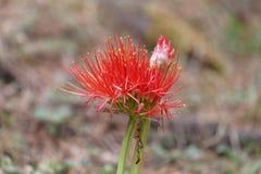Fleur d'un lis de sang, multiflorus de Scadoxus photo stock